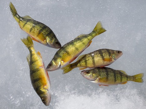 Lake Simcoe perch resting on ice after a day of ice fishing